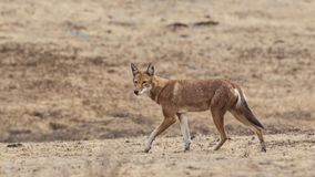 Ethiopisch Wolf Walking Left stock afbeeldingen