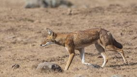 Ethiopisch Wolf Walking in Prairie royalty-vrije stock afbeeldingen