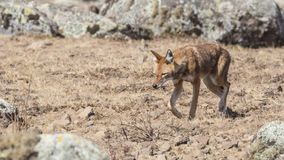 Ethiopisch Wolf Walking Among Rocks stock fotografie