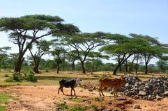 Ethiopische koeien in aard. Landschapsaard. Afrika, Ethiopië. Royalty-vrije Stock Foto