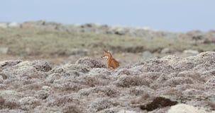 Ethiopische Wolf in Berg stock videobeelden
