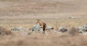 Ethiopische Wolf in Prairei stock videobeelden