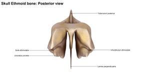 Ethmoid ben för skalle Royaltyfri Foto