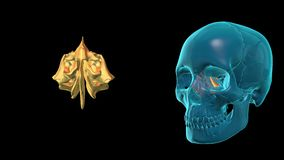 Ethmoid Bone - 3D MODEL ANIMATION