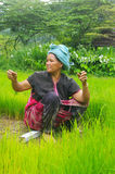 Ethnic Akha woman in the rice field Royalty Free Stock Photos