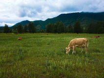 Ethnic livestock. Altaic cows at the green fields Royalty Free Stock Image