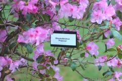 Etikett och blommor för rhododendron`-Praecox ` Royaltyfria Bilder