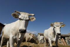 Etikettierte Kühe Lizenzfreies Stockfoto