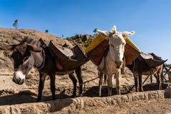 Etiopía, Axum, burros en las ruinas de los baños de la reina de Saba fotografía de archivo libre de regalías