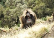 Etiopiska geladas Royaltyfria Bilder