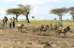 Etiopscy rolnicy z zbożowym żniwem i osłami Zdjęcia Stock