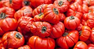 Etiopski karmowy czerwony pomidorowy Solanum aethopicum, Tropikalni Afryka egzaminu próbnego warzywa zbiera tło Zieleń i kolor żó Obraz Royalty Free