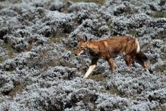 Etiopski wilk w bel górach Etiopia w Afryka Obraz Royalty Free