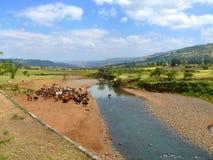 Etiopskie krowy na nawadniać rzekę. Afryka, Etiopia. Obraz Stock