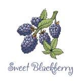 Etiqueta de Blackberry com ramo e folhas ilustração royalty free