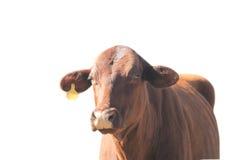 Etiqueta de orelha vermelha do amarelo da vaca isolada com trajeto Foto de Stock Royalty Free