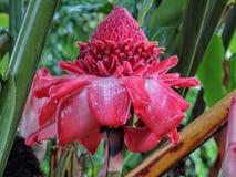Etlingera Elatior或红色火炬姜,毛伊,夏威夷,美国,宏指令的关闭 库存照片