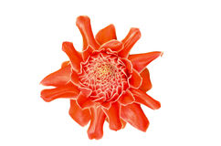 Etlingera elatior Royalty Free Stock Photography