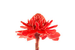 Etlingera elatior Royalty Free Stock Photo