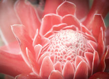 Etlingera elatior flower Royalty Free Stock Images
