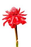 etlingera elatior flowers Stock Photos