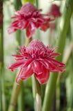 Etlingera elatior flowers Stock Image