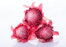 Etlingera elatior, gingers flower or Torch Ginger Bud Stock Photography