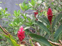 Etlingera elatior kwiat cesarza ` s personel - Bastao robi Imperador - Fotografia Royalty Free