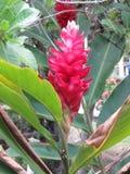 Etlingera elatior kwiat cesarza ` s personel - Bastao robi Imperador - Zdjęcie Stock