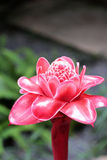Etlingera Elatior lub Czerwony pochodnia imbir - czerwony kwiat w naturze obraz royalty free