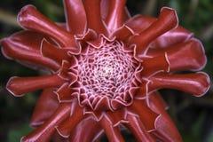 Etlingera Elatior o jengibre rojo de la antorcha Imagen de archivo libre de regalías