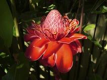 Etlingera elatior - Podkłada ogień imbira w pełnym kwiacie Zdjęcie Stock