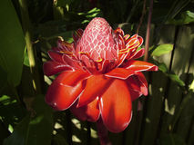 Etlingera elatior - Torch Ginger in full bloom Stock Photo