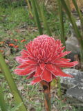Etlingera elatior or Torch ginger or Red ginger lily or Philippine wax flower. Royalty Free Stock Images