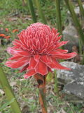 Etlingera elatior or Torch ginger or Red ginger lily or Philippine wax flower. Stock Image