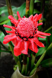 Etlingera elatior, Torch Lily flower Stock Photos