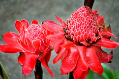 Etlingera elatior, Torch Lily flower Royalty Free Stock Photography