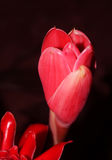 Etlingera selvagem Flor vermelha do gengibre da tocha contra o crescimento tropical luxúria em Tailândia do norte Imagem de Stock Royalty Free