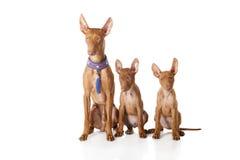 Etna Cirneco σκυλί Στοκ Φωτογραφίες