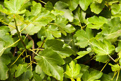 Etnika. Background with many green leaves. Spring, summer royalty free stock photo