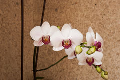 Etnika. Orchid flower. Background with flower royalty free stock images
