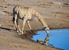 Etosha国家公园,纳米比亚 免版税图库摄影
