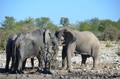 Etosha国家公园,纳米比亚 库存照片