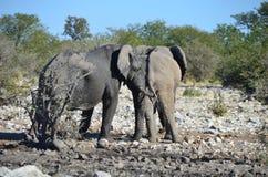 Etosha国家公园,纳米比亚 免版税库存图片