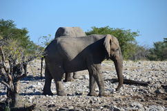 Etosha国家公园,纳米比亚 库存图片