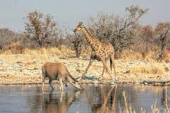 Etosha斑马和eland 免版税库存图片