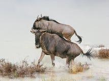 etosha比赛纳米比亚预留wildebeast 库存图片