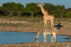 etosha纳米比亚waterhole 图库摄影