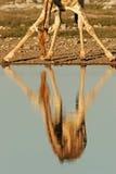 etosha长颈鹿纳米比亚国家公园反映 库存照片
