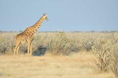 etosha长颈鹿纳米比亚国家公园 免版税库存图片